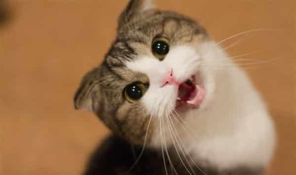 kedi-miyavlama Ini Dia 7 Cara Kucing Berkomunikasi Dengan Tuannya, Mana Yang Paling Sering Ditunjukkan Kucing Peliharaanmu?